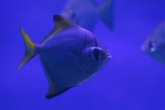 Close up of piranha Stock Image