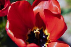 Close up on the pistil and stamens. Of the red tulip stock photos
