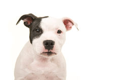 Close up of a pit bull terrier puppy dog portrait looking straight into the camera Stock Images
