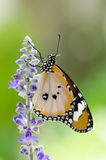 Close up plain tiger butterfly Stock Images