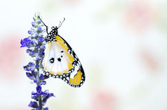 Close up plain tiger butterfly Royalty Free Stock Photography