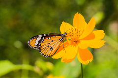 The Plain Tiger butterfly. Close up of the Plain Tiger butterfly feeding on cosmos flower stock photo