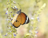 Close up plain tiger butterfly on flower Stock Photo
