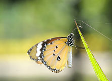 Close up plain tiger butterfly Stock Photography
