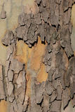 Close up of plane tree bark as  background Stock Photography