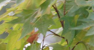 Close up of a plane tree leaves moving in the wind 4K stock video
