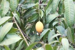 Plango fruit on tree Royalty Free Stock Photo