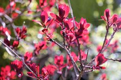 Close up of a plant or bush with red leaves. Plant in spring with red leaves and textspace Stock Images