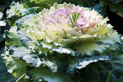 Close-up plant of a decorative cabbage with green leaves royalty free stock photography