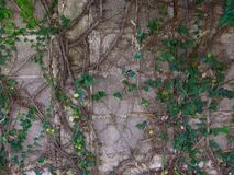 Close up plant and root growing on concrete wall stock photo