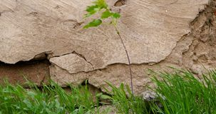 Close-up plant or small tree and grass growing in front of aged stone wall stock footage