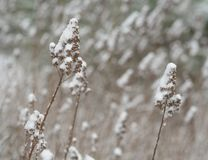 Close up plant stalk blade of dry grass covered by snow abstract Royalty Free Stock Photo