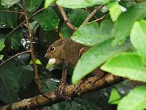 Close-up Of A Plantain Squirrel With A Rambutan In Its Mouth stock photo