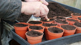 Close up planting individual seeds in pots. Royalty Free Stock Image