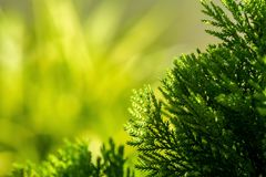 Close up Platycladus orientalis Chinese thuja royalty free stock images