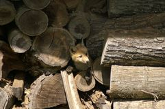 Fox in wood pile stock photography