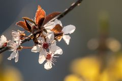 Close-up of a plum blossom in sunlight stock images