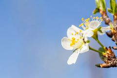 Close up of and on Plum flower blooming in spring. Blossom flowers isolated with blurred background. Close up of ant on Plum flower blooming in spring. Blossom stock image