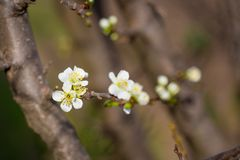 Close up of Plum flowers blooming in spring. Blossom flowers isolated with blurred background.  royalty free stock photos