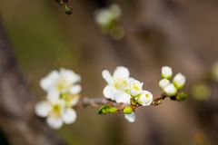 Close up of Plum flowers blooming in spring. Blossom flowers isolated with blurred background.  stock photo