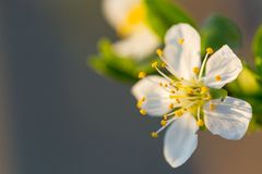 Close up of Plum flowers blooming in spring. Blossom flowers isolated with blurred background.  royalty free stock images
