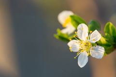 Close up of Plum flowers blooming in spring. Blossom flowers isolated with blurred background.  stock images