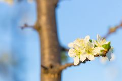 Close up of Plum flowers blooming in spring. Blossom flowers isolated with blurred blue background.  royalty free stock photo