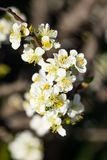 Close up of Plum flowers blooming in spring. Blossom flowers isolated with blurred dark background.  royalty free stock photo