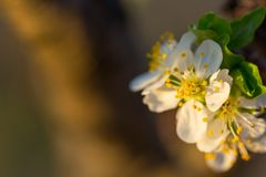 Close up of Plum flowers blooming in spring. Blossom flowers isolated with blurred orange background.  royalty free stock photography