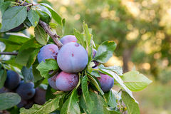 Close up of the plum tree branch with ripe juicy fruits on sunse Stock Image