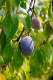 Close up of the plum tree branch with ripe juicy fruits on sunse Royalty Free Stock Image