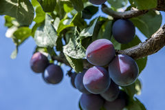 Close up of a plum tree. Royalty Free Stock Image