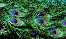 Peacock stock image