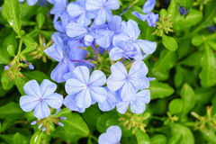 The close up of Plumbago auriculata Lam. Royalty Free Stock Photo