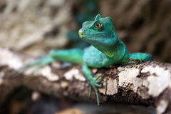 Close-up of a Plumed basilisk. Close-up view of a green Plumed basilisk (Basiliscus plumifrons Royalty Free Stock Images