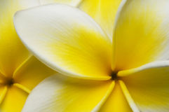 Close up Plumeria Royalty Free Stock Images
