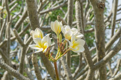 Close up Plumeria flower on the tree Stock Image