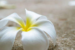 Close up Plumeria flower Stock Photo