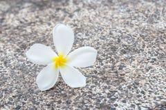 Close up plumeria flowers on floor Royalty Free Stock Photo