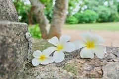 Close up plumeria flowers stock photo
