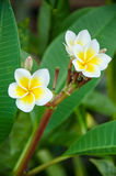 Close up of plumeria or frangipani blossom on the plumeria tree. Flower closeup Stock Images