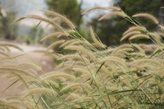 Close up Poaceae grass flower and green glass with blur background royalty free stock images