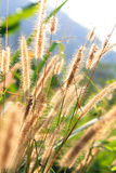 Close up of Poaceae Royalty Free Stock Images