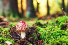Young Fly agaric mushroom in the sunny autumn forest Royalty Free Stock Photography