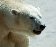 Close up of polar bear Stock Image