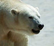 Close up of polar bear Stock Image