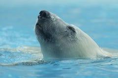 Close-up of polar bear. Portrait of a polar bear swimming Royalty Free Stock Photos