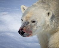 Close up of polar bear with blood stained nose. In Spitsbergen, Norway stock photos