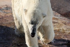Close-up of a Polar Bear in a Zoo Stock Photography