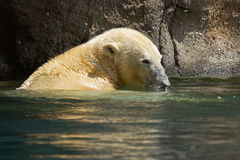 Close-up of a polarbear in capticity Royalty Free Stock Photo
